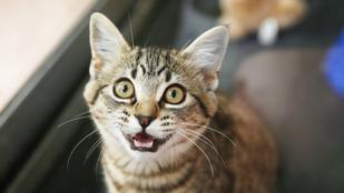 Szótár macskákhoz: melyik nyávogás mit jelent?