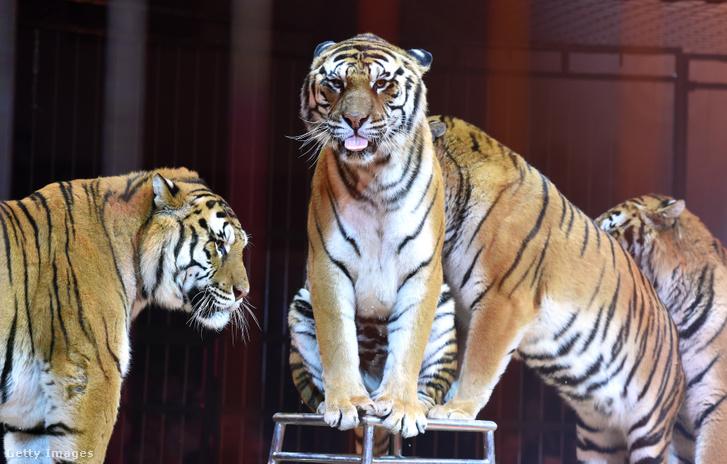Tigrisek egy müncheni cirkuszban 2015-ben