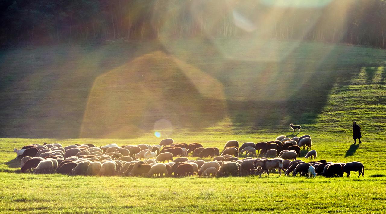 """""""Zsuzsi néni a fiát helyettesíti pásztorként ezen a kánikulai napon. Ahogy körberajzolta a fény őt és a bárányokat, úgy éreztem, le kell fényképeznem, mert egészen varázslatosnak hatott.″"""