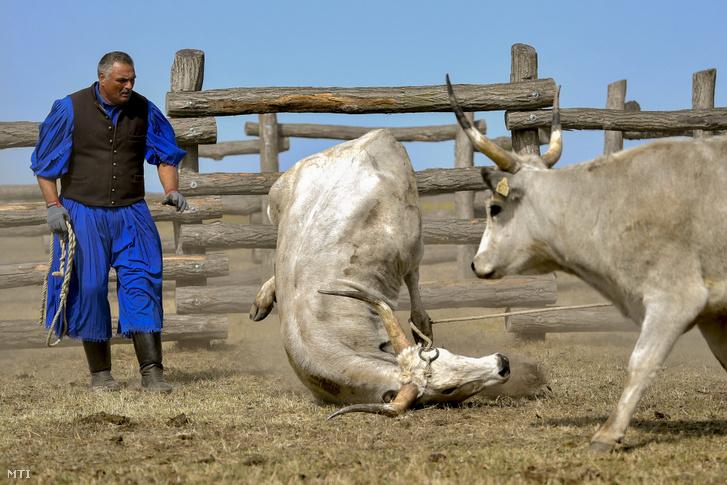 Elesik egy szürkemarha a 24. gulyásversenyen és pásztortalálkozón Hortobágyon 2020. szeptember 19-én. A pusztai állatparkban rendezett megmérettetésen tíz felnõtt és kilenc bojtár gulyáspáros mérte össze szakmai tudását.