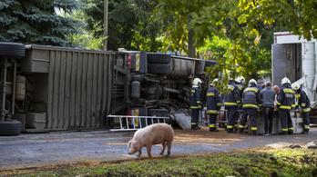 Nem volt malacuk a böhönyeieknek: sertéseket szállító kamion borult fel