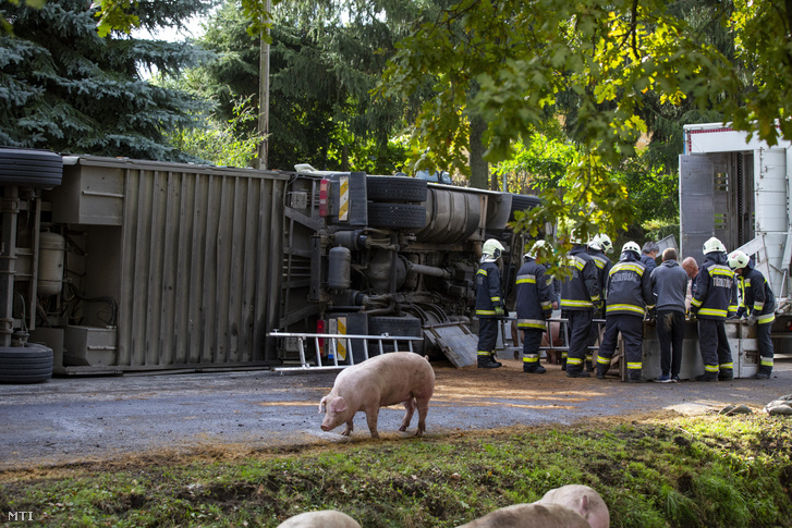 Tűzoltók egy felborult sertéseket szállító kamion mentésén a Somogy megyei Böhönyén a Szabadság utcában 2020. október 5-én. A jármű kétszáz állatot vitt egy részük elpusztult vagy megsérült.