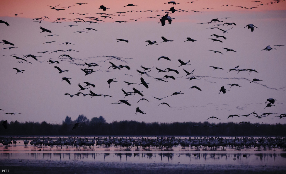 Szürke darvak (Grus grus) repülnek naplemente után éjszakázó helyükre Hortobágyon, az Elepi tóegység Felső-laposi tavához. Európa legnagyobb darugyülekező helyén, a Hortobágyi Nemzeti Park területén az október 11-i számlálások szerint közel 54.000 daru tartózkodik. Az Észak-Európából (zömmel Finnországból) szeptember második felében érkező madarak a komolyabb fagyok beköszöntéig maradnak.