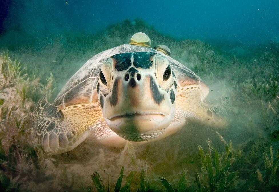 Kukucs!                                                  A korlátozott látótávolság miatt végtelennek tűnő tengerifű-mezőkön sok-sok időt eltölthetünk anélkül, hogy állatokkal találkoznánk. Így történt ez azon a merülésen is, amelyen ezt a képet készítettem. Egyszer csak homokfelhő szállt fel a távolban, amit egy békésen legelésző közönséges levesteknős (Chelonia mydas) vert fel maga körül. Annyira belemerült a majszolásba, hogy egyáltalán nem zavarta, ahogy csendesnek éppen nem nevezhető buborékrobajjal megközelítettem. Egy darabig – akkor aztán e csendes óriás félbehagyta az étkezést, és végigmérte alkalmi ismerősét, a csőre szinte érintette a fényképezőgép optikáját védő üveg félgömböt. Egy rövid, ám átható pillantás után visszatért eredeti foglalatosságához, és békésen folytatta az étkezést. Nem is tartottam fel tovább… Egyiptom, Marsa Shouna, 2011. július.