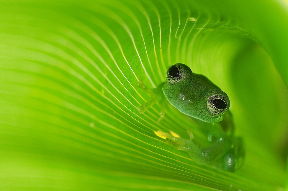 """Örvény                                                  A smaragd üvegbéka (Centrolene prosoblepon) Costa Rica esőerdeiben él. Éjszaka aktív, a nappalt a levelek között megbújva tölti. Két nappal első találkozásunk után, ismét összefutottam vele, na persze nem véletlenül, tűvé tettem érte az erdőt, míg végül megleltem a nappali búvóhelyét. A kép egy banánféle új hajtásának hengerében készült. Két vakuval átvilágítottam a levelet, a gép beépített vakujának fényével pedig még egy pici direkt fényt is tettem a """"modellemre"""". Szerencsére a béka biztonságban érezte magát, így nyugodtan kivárta, amíg felállványoztam és beállítottam a gépet és a vakukat – a nedves, sáros környezetben álmosan nézegetett a zöldben."""