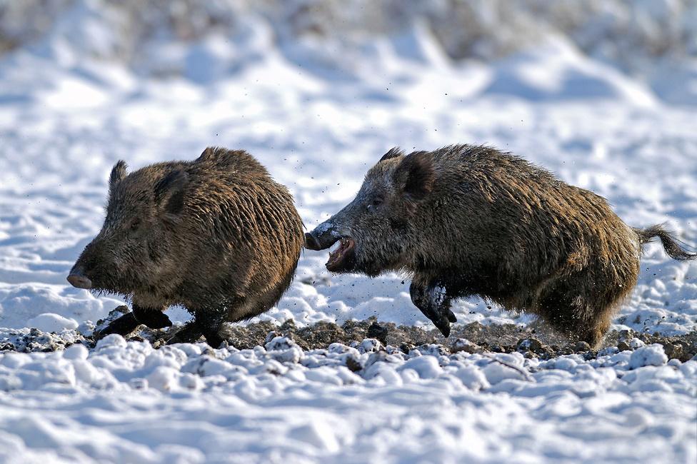 2. díj. (Ifjúsági kategória) Tavaly télen egy hideg, havas napon reménykedve helyezkedtünk el egy ígéretes szóró közelében. Reményünk beteljesült, az erős fagy és a hó miatt a vaddisznók korán megindultak táplálkozni. Az éhes állatok meglehetősen agresszíven viselkedtek, gyakran egymásnak ugrottak. Az egyik ilyen pillanatot sikerült megörökítenem.