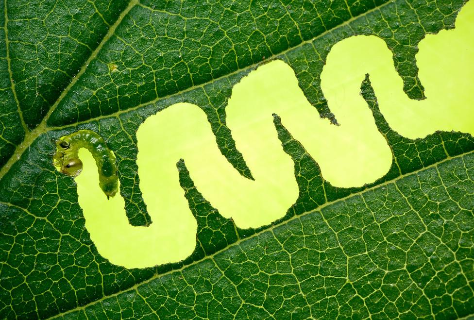 Kanyargós                         A kanyargós szillevéldarázs (Aproceros leucopoda) nevét a lárva jellegzetes rágási képéről kapta. A fiatal álhernyók kezdetben ilyen hullámos rágatokat képeznek szilfák levelein, később már az egész levelet lerágják, a főbb ereket meghagyva. 2,2-szeres nagyítású felvétel fullframe szenzoron.