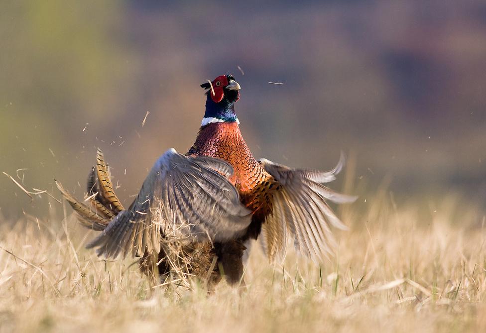 Turbulencia                         A díszes fácánkakas (Phasianus colchicus) – amellett, hogy ezzel lenyűgözze a tojókat – kakatolással jelzi fajtársainak a revírje (az egyes kakasok és háremük fészkelési területe – a szerk.) határait. A mozdulatsor nagyon látványos, amit a madár önkívületben hajt végre. A fotón az utolsó fázis látható, amikor a kakas a szárnyaival lefelé csap. Ilyenkor akkora turbulencia keletkezik, hogy a környéken lévő száraz gaz a levegőbe repül.