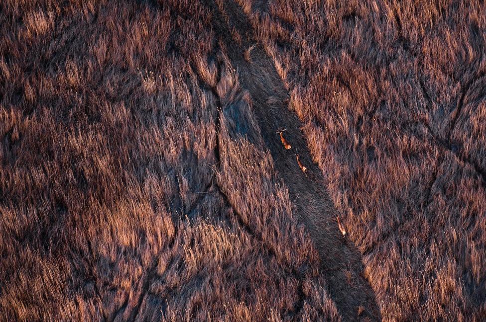 """Szarvas utca                         1. díj (Állatok és környezetük)                         A kép 2012. május 8-án készült – sajnálatos módon éppen előtte egy héttel égett le több száz hektáron a bugaci ősborókás. Azzal a céllal szálltunk fel, hogy ezt lefotózzam. Miután elkészültek ezek a képek, kerültünk egyet Miklapuszta felé is. A legszebb fényekre értünk oda, és annyi volt a jó téma, hogy azt sem tudtam, merre fotózzak. Egyszer csak azt hallom a fejhallgatóban a pilótámtól: """"Látod balra a szarvasokat?"""" Amint megtaláltam őket, három gyors sorozatot engedtem rájuk, és már el is tűntek a keresőből. Ez az egy kép lett éles."""
