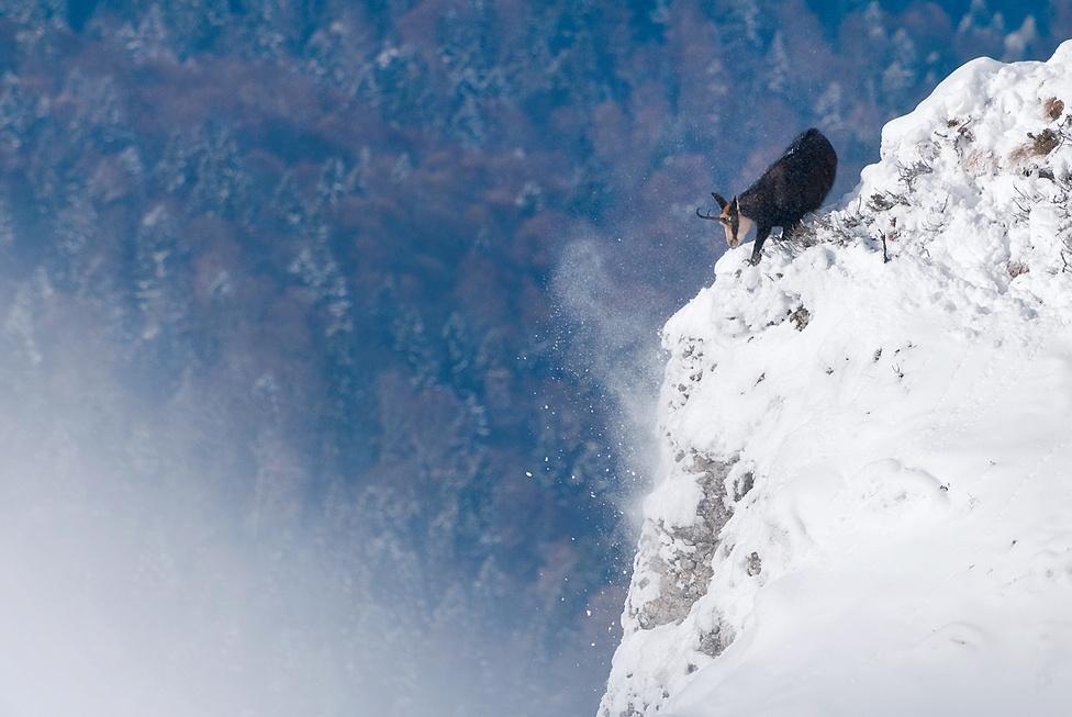 Tánc az élen                                                  A romániai Csalhó-hegységben még a nagy hó sem űzi le a meredek sziklákról a zergéket, hiszen az alacsonyabban fekvő erdőkben farkasok várnák őket. Lenyűgöző látvány, ahogy tériszony nélkül keresik az élelmet, és élik az életüket a Kárpátok és a vadon igazi szimbólumai – a zergék.
