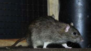 Fővárosi patkányháború: helyzetjelentés