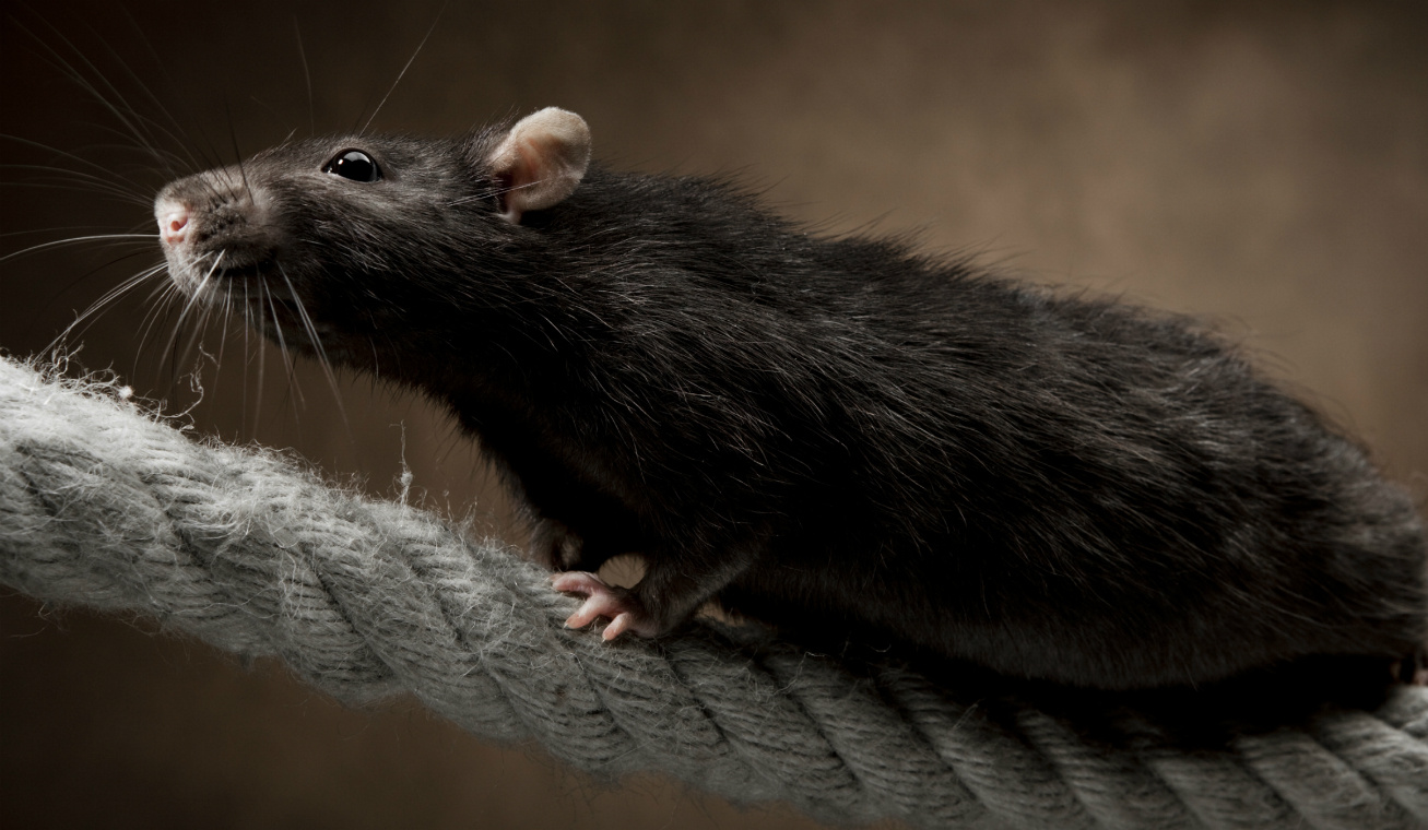 bátor patkány
