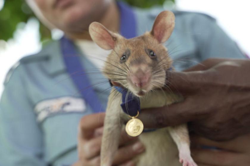 Ismerd meg Magawát, a patkányt, aki büszkén viseli nyakában a kivételes bátorságáért kapott aranymedált, melyet a királyi ékszerész készített el, aki többek között Meghan Markel eljegyzési gyűrűjét is tervezte.