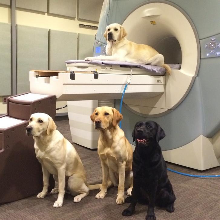 Kutyák nagy mágnessel / forrás: Gregory Berns, Emory University