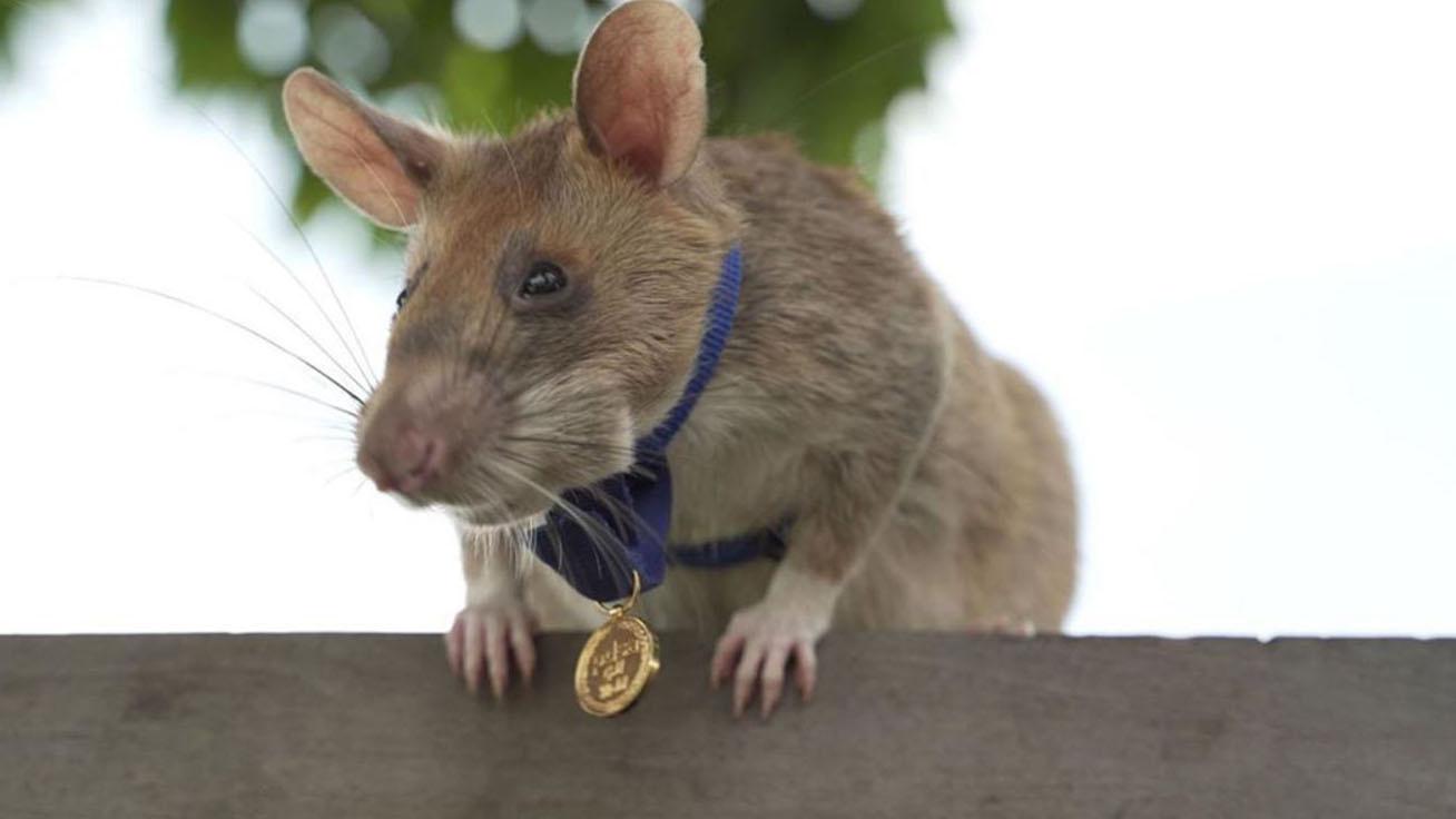 patkány-borító