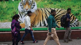 Két év alatt nyolc embert ölt meg egy tigris Indiában