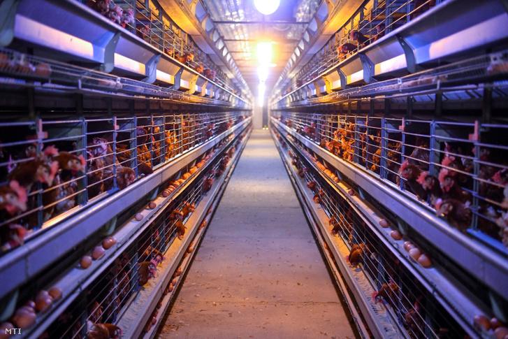 Tojótyúkok és tojások a Földesi Rákóczi Mezőgazdasági Kft. sápi telephelyén 2019. október 10-én. A Nemzetközi Tojásszövetség 20 évvel ezelőtt hirdette meg október második péntekére a tojás világnapját. Ezen a napon a tojás táplálkozásban játszott szerepének fontosságára hívják fel a figyelmet. Az anyatej után a tojás a legteljesebb, mással nehezen pótolható fehérje. Zsírjai, ásványi anyagai és vitaminjai ideális arányúak, D-vitamin-forrásként kimagasló jelentőségű.