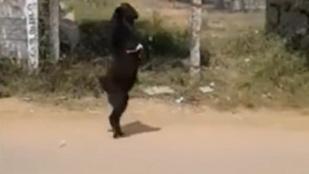 És akkor szembejött az utcán egy két lábon járó, fekete kecske