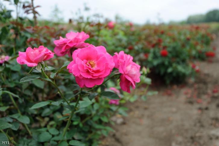 Elvirágzó nemes rózsák a Szőregi Virág-Dísznövény ÁFÉSZ egy tiszaszigeti rózsatábláján 2012-ben