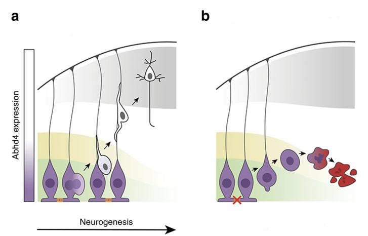 Sematikus rajz a normálisan és a rendellenesen leváló sejtekről. A grafikonokon-ábrákon a neurogenezis (idegsejtfejlődés) és az egyre halványuló (csökkenő) abhd4 fehérjetermelés összefüggése látható. a) normális idegrendszeri fejlődés során a radiális glia progenitor sejtek osztódásait követően az új sejtek leválnak az agykamra faláról, nyúlványaikkal felkapaszkodnak és a kortikális lemezre vándorolnak. b) hibás osztódások és patológiás sérülések esetén (pl. magzati alkoholszindróma) a nyúlványok károsodnak és az idegsejtek leválása kóros módon történik meg. Itt központi szerepe van az ABDH4 fehérjének, aminek termelődése ekkor nem áll le és képes sejtelhalást (apoptózist) indukálni. Ez rendkívül fontos, mert megakadályozza a kóros sejtek felszaporodását. narancssárga jelek: kezdeti sejtkapcsolatok a radiális glia progenitor őssejtek között. zöld: agykamrai zóna. sárga: agykamra alatti terület. szürke: agykérgi lemez