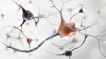 Kóbor idegsejtekre vadászó fehérjét találtak