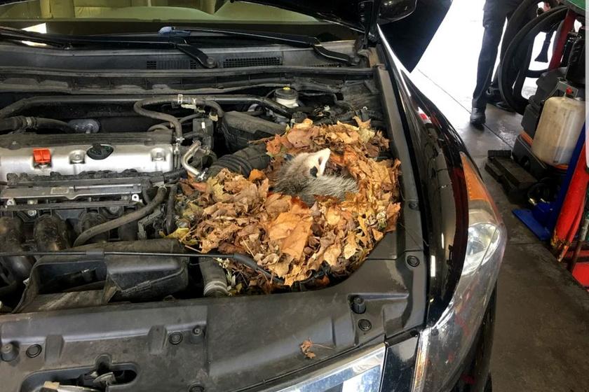 A motortérben fészket rakó oposszum minden bizonnyal fázott odakint.