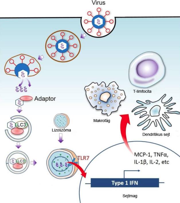 Az autofágia folyamata. A lépéssor veleszületett, öröklött immunválaszt válthat ki gyulladásserkentő anyagok (citokinek) segítségével, valamint segíti az immunsejtek kórokozóhoz való vonzását és aktiválását. (Vírus – lizoszóma – citokinek – immunsejtek vonzása, aktiválása.) Az ábra felső fekete határvonala a sejthártya, a belső kék körív a sejtmaghártya.