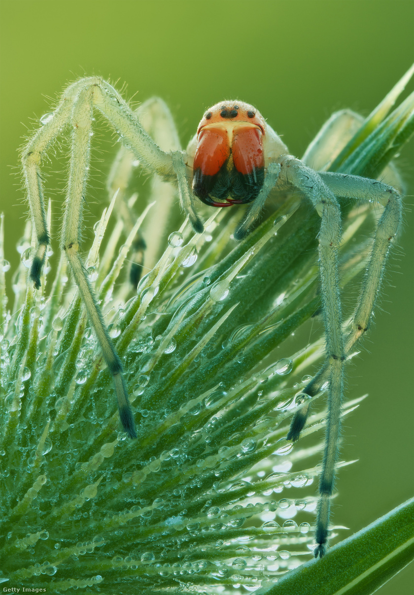 Mérges dajkapók (Cheiracanthium punctorium) - a viszonylag nagy termetű, lábaival együtt akár 6-7 centiméteres pók csípése fájdalmas, bedagad, lázat, hányást, végtagzsibbadást és akár időszakos bénulást is okozhat.