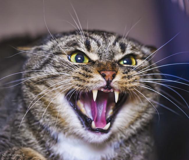 Dühös macska