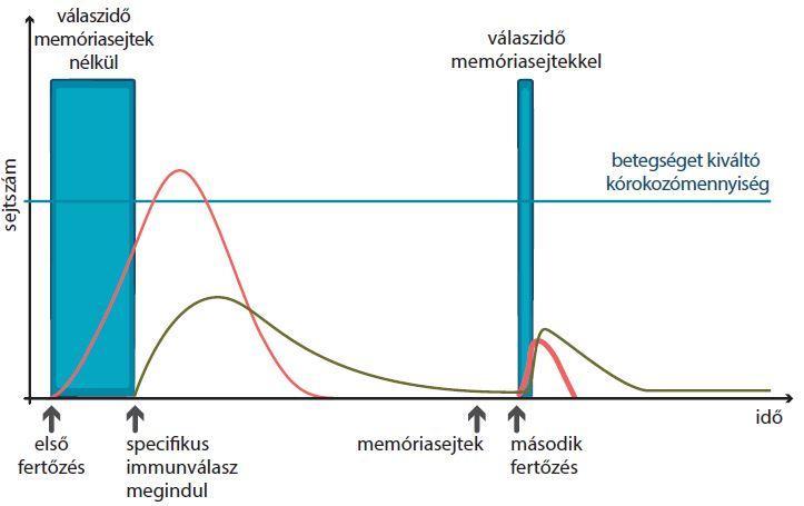 Az ép és edzett immunrendszer a memóriasejtek segítségével egy esetleges újrafertőződést nagyon hatékonyan kezel.