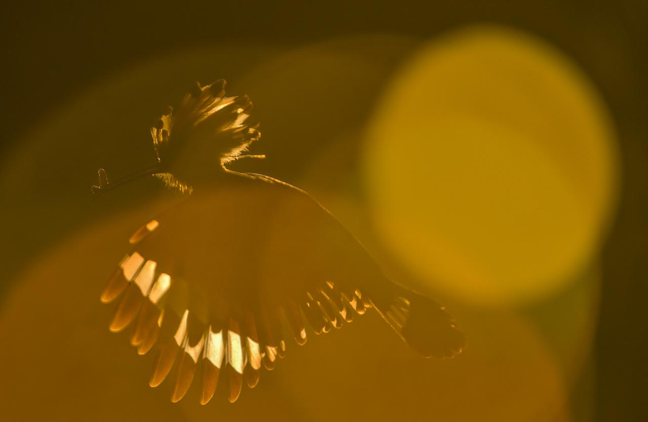 Búbos bankáról készült ellenfényes felvétel, melyen a napfény becsillanása teszi még sejtelmesebbé a képkockát.
