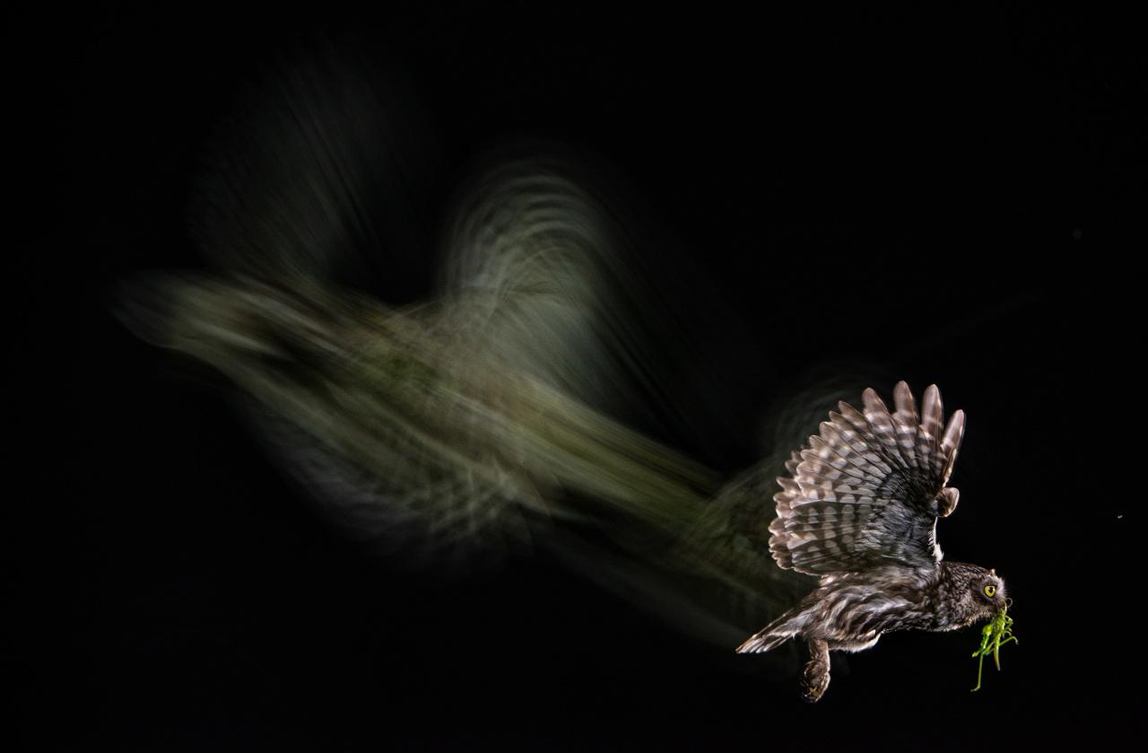 Egy kuvikról hosszú expozíciós idővel készített felvétel. A madár éppen élelmet visz fiókájának.