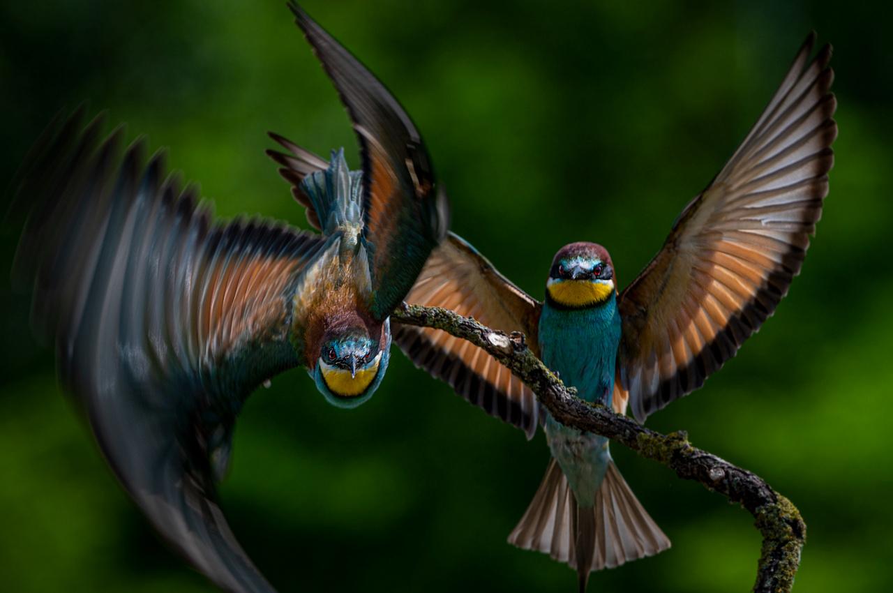 A mórahalmi lápföldön lessátorból készített felvételen a kifeszített szárnyú gyurgyalag megkezdi röptét.