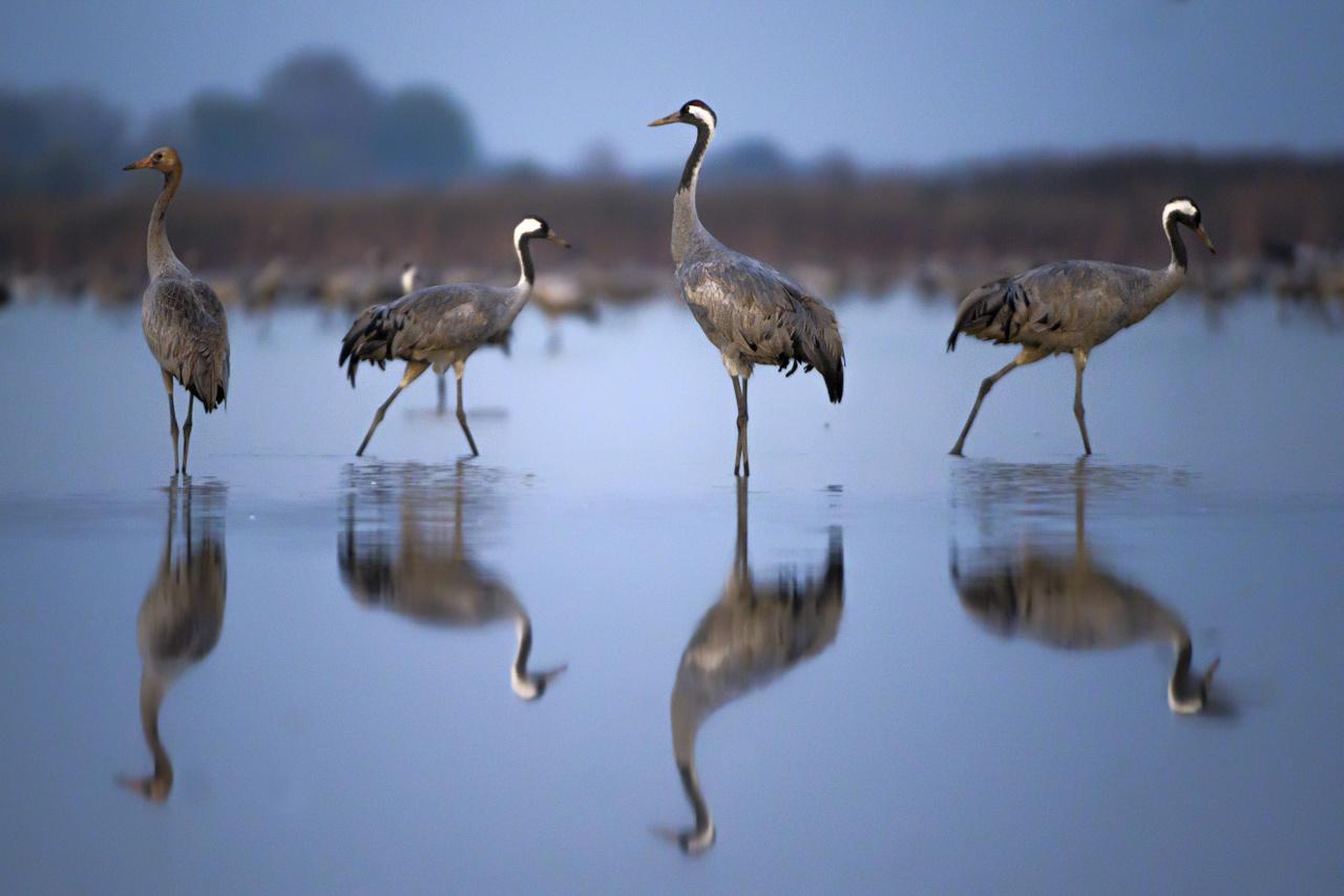Az átvonuló madarakat a legnehezebb fotózni, mert hamar észlelik az embert és gyorsan tovább szállnak. Ez a kép 30 nap várakozás után készült.