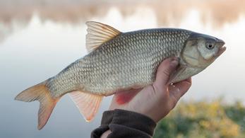 Idén is van meglepő jelölt az Év hala versenyben