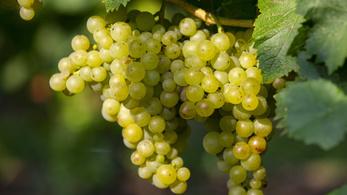 Idén ősszel nagy lendületet kapott a balatoni borturizmus