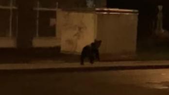 Medve járt Miskolcon