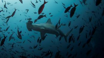 Háromszorosára nőtt a cápák száma a kaliforniai partok mentén