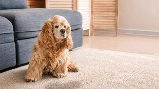 Kutya inkontinencia: nem mindig elég a gyógyszer a gyógyuláshoz