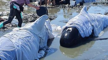Tömeges delfinpusztulás Új-Zélandon