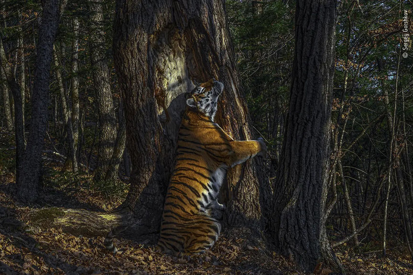 """Szergej Gorskov készítette """"Az ölelés"""" című képet, ami idén elnyerte Az év természetfotója díját. A fődíj mellett több különböző kategóriában is elismerték a művészeket."""