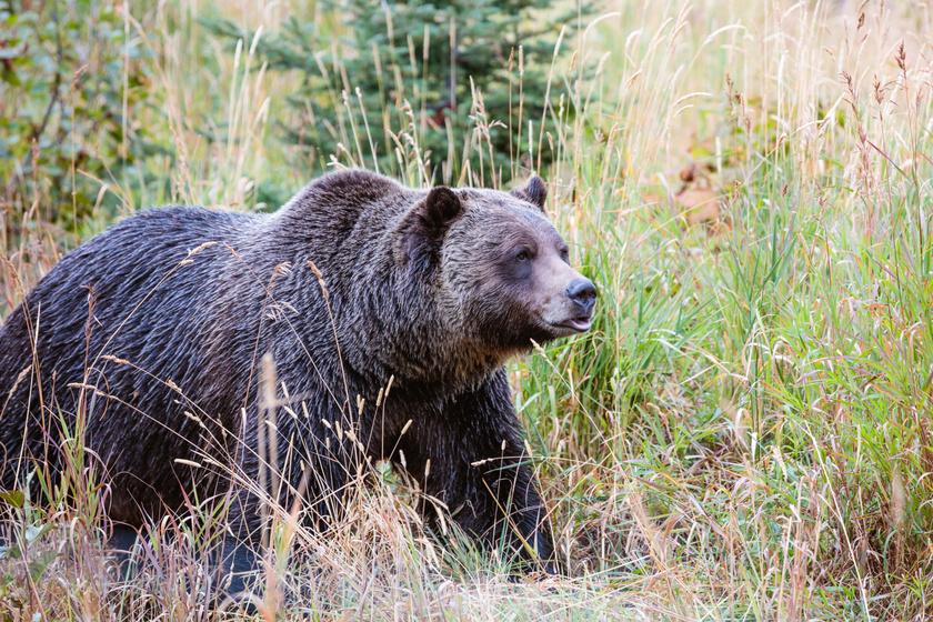 A Miskolcon járkáló medve itt lehet most - Több lakott területen is felbukkant a napokban