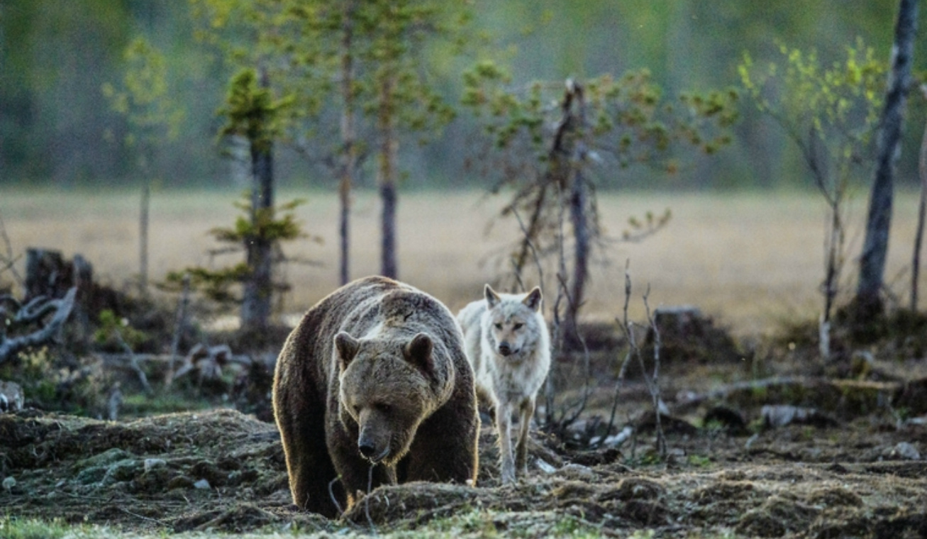 grizzly és farkas