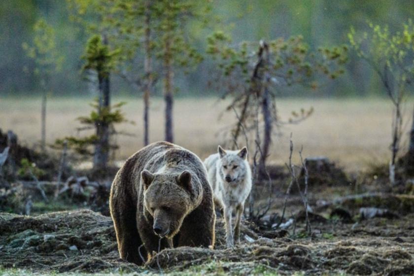 Éhes farkas próbálta ellopni a grizzly medve zsákmányát: lenyűgöző pillanatot rögzített a kamera
