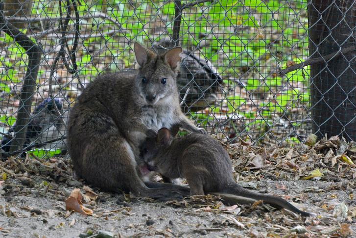 Parma-kenguru19 foto Bagosi Zoltan
