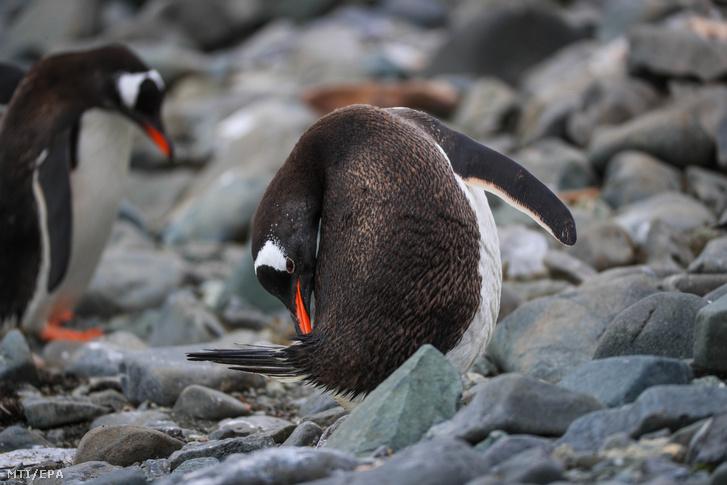 Vakarózó pingvin a György király-szigeten