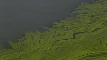 Vörös dagály pusztít Kamcsatka partjainál
