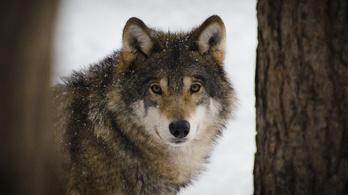 Kutyákhoz hasonlóan hiányolják nevelőjüket a farkasok