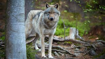 Farkastámadást valószínűsítenek Egerben