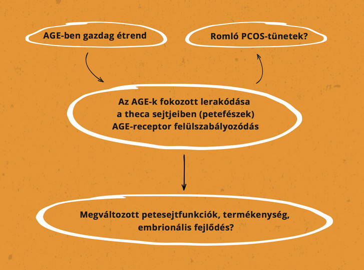 2. ábra. Az AGE-k szerepe